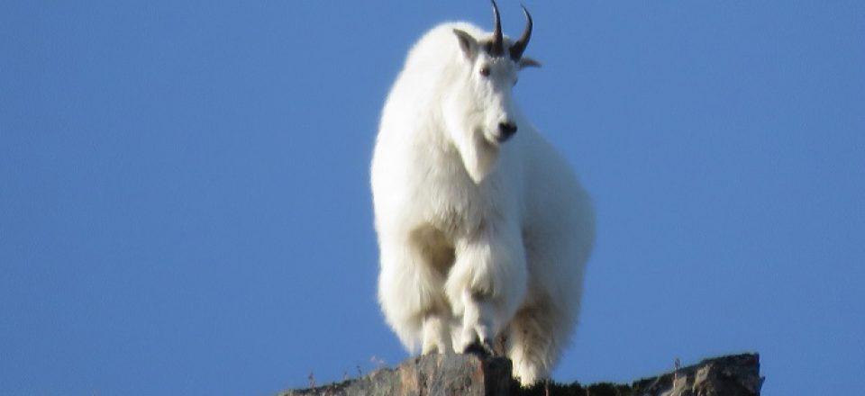 Goat-2015