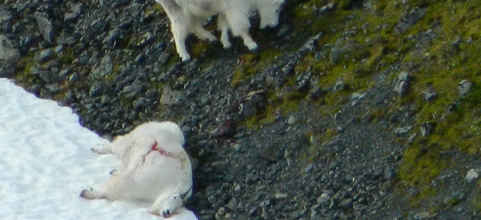 Hugo-Goat-2012-004